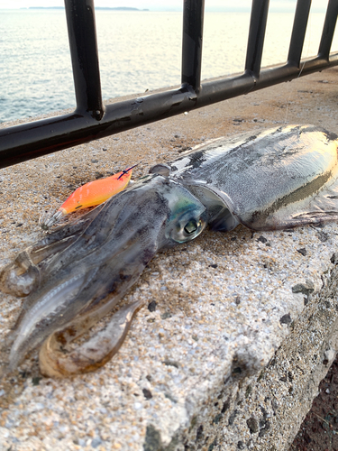 アオリイカの釣果
