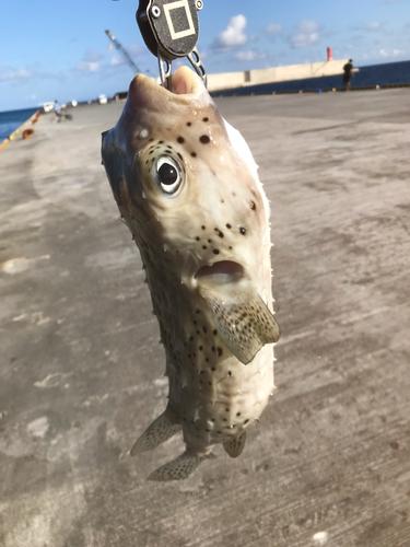 イシガキフグの釣果