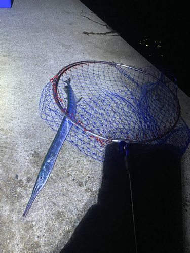ダツの釣果