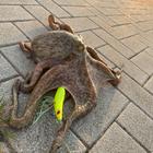 タコエギ太郎の釣果