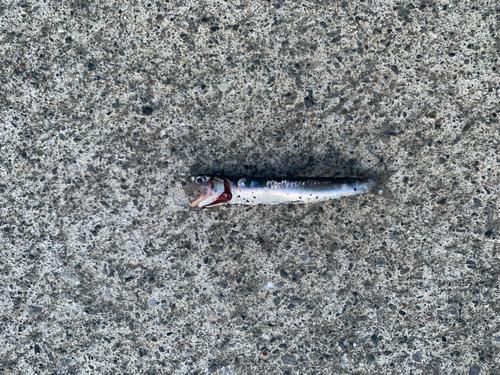 カタクチイワシの釣果