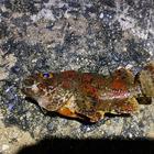 草津港のカラコギの釣果