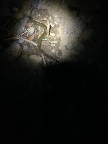 ウナギの釣果