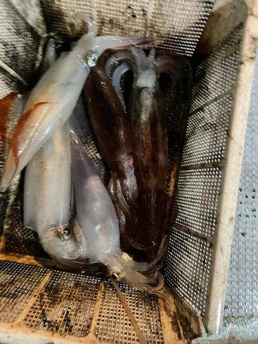 シロイカの釣果