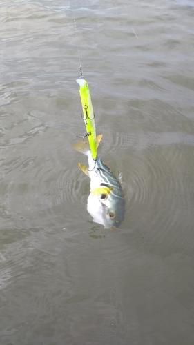 シマフグの釣果