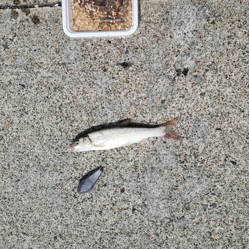 ウグイの釣果