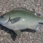 fishgetter7の釣果