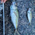 大村堤防部の釣果