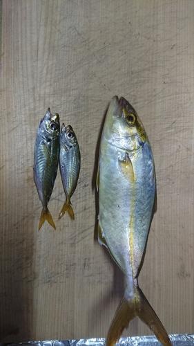 カンパチの釣果