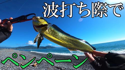 シイラの釣果
