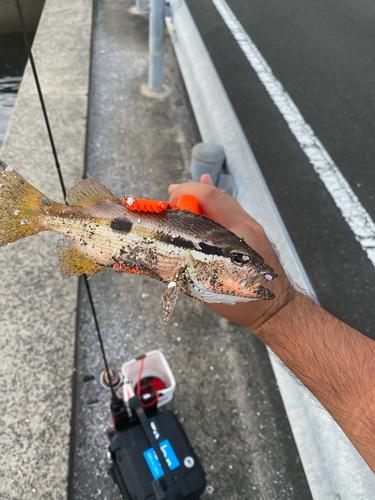 ヨコスジフエダイの釣果