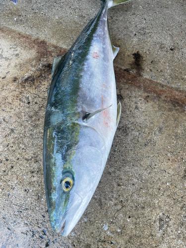 ワカナゴの釣果