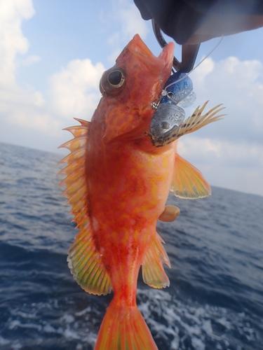 ユメカサゴの釣果