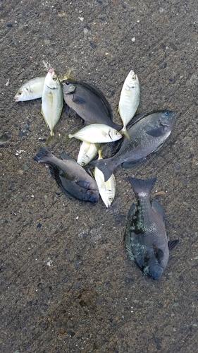 クロメジナの釣果