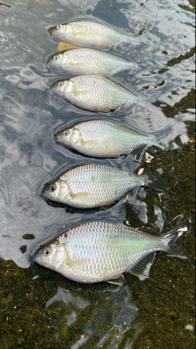 カネヒラの釣果