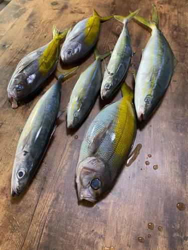 ウメイロの釣果