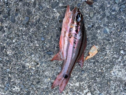 クロホシイシモチの釣果