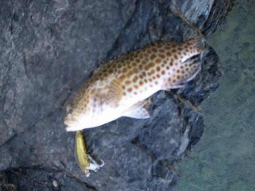 カンモンハタの釣果