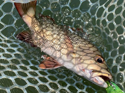 マングローブジャックの釣果