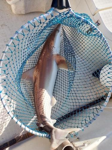 ヨシキリザメの釣果