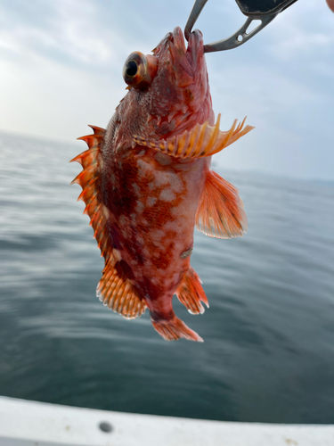 ウッカリカサゴの釣果