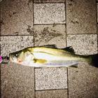 リアル釣りバカ日誌の釣果