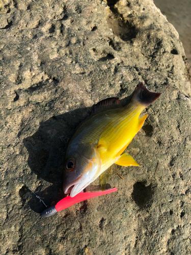 ナミフエダイの釣果