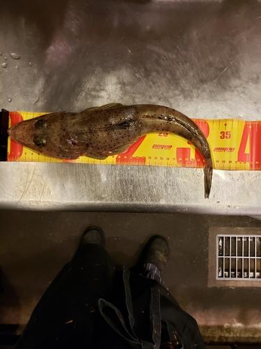 ワニゴチの釣果