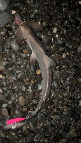 シュモクザメの釣果