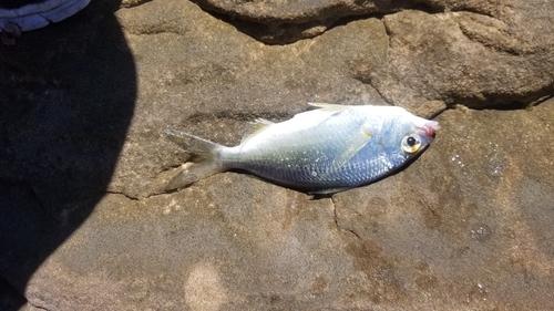 ウミタナゴの釣果