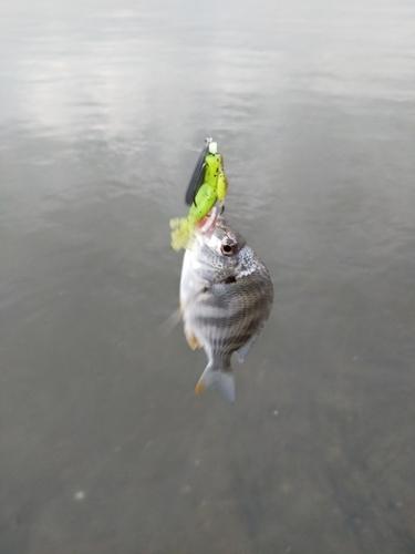 キチヌの釣果
