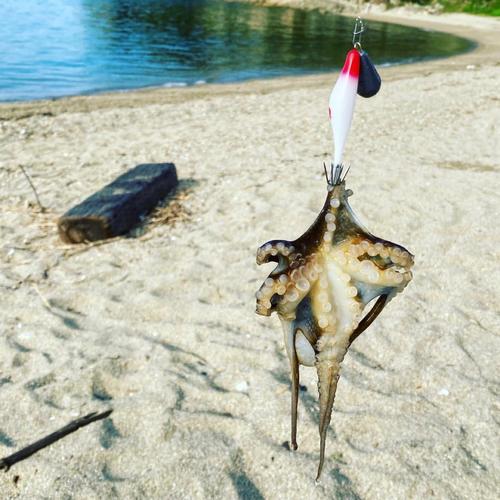 イイダコの釣果