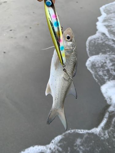 ツバメコノシロの釣果