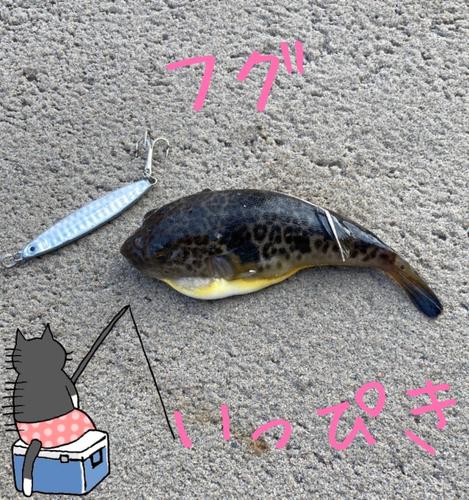 ヒガンフグの釣果