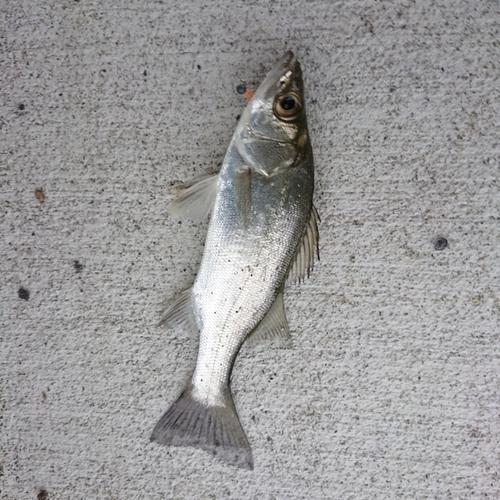 セイゴ(マルスズキ)の釣果