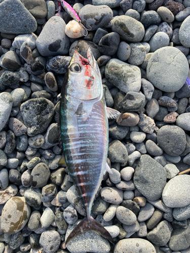 メジマグロの釣果