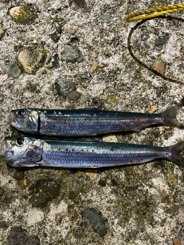 マイワシの釣果