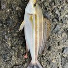 鹿児島釣り情報局運営者の釣果