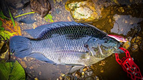 モザンビークティラピアの釣果