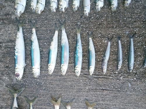 ウルメイワシの釣果