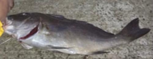 コロダイの釣果
