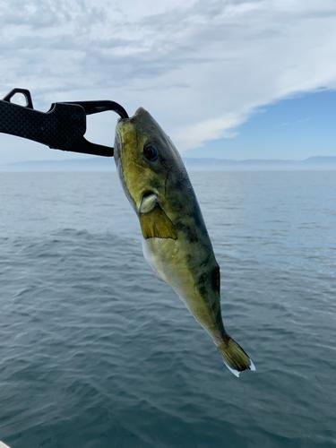 シロサバフグの釣果