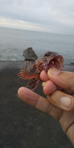 カサゴの釣果