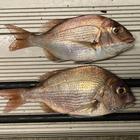 防波堤のブルジョワの釣果