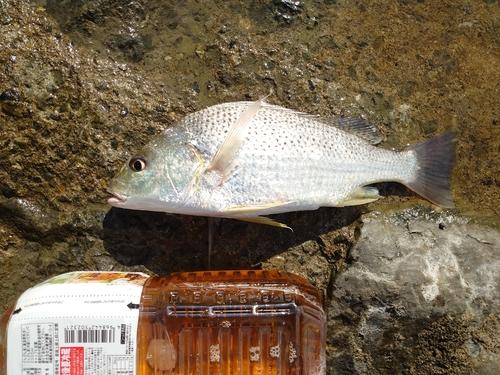 ホシミゾイサキの釣果