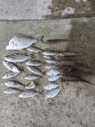 シマイサキの釣果