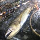 Bibuの釣果