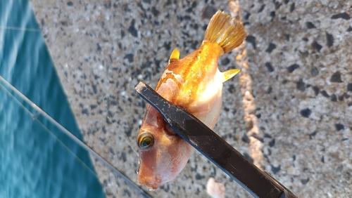 キタマクラの釣果
