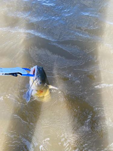 アメリカンキャットフィッシュの釣果