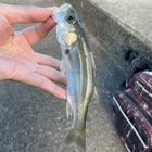 かーつぁんの釣りにっきの釣果